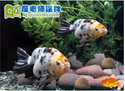 幼儿园托班科学《观察金鱼》FLASH课件3