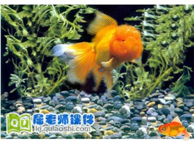 幼儿园托班科学《观察金鱼》FLASH课件2