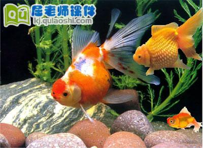 幼儿园托班科学《观察金鱼》FLASH课件1